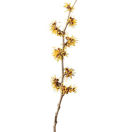 Yellow witch hazel branch