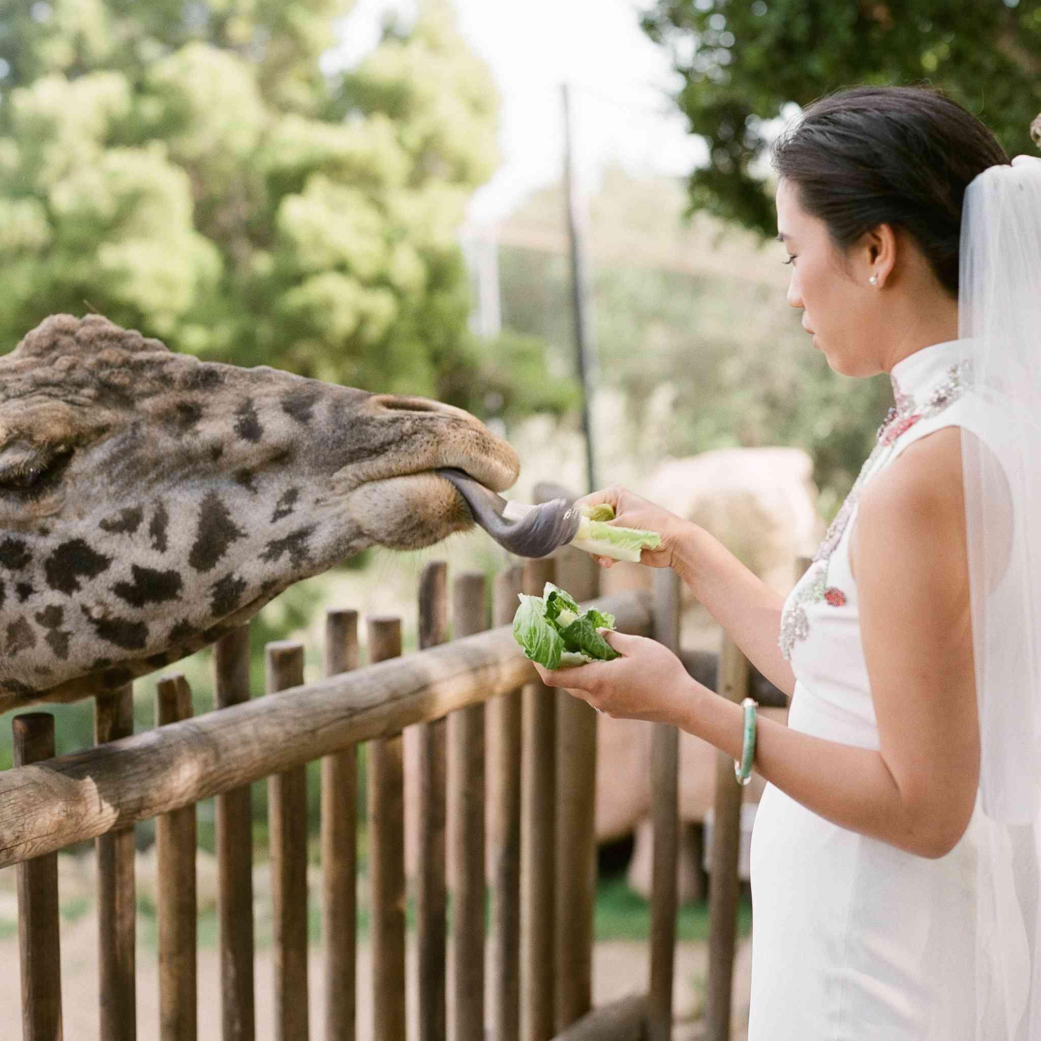 Bride feeing giraffe