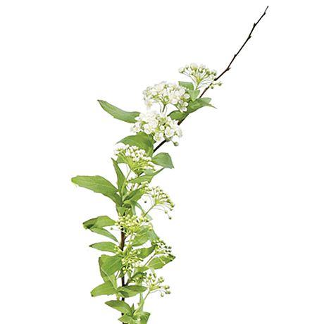 White spirea stem