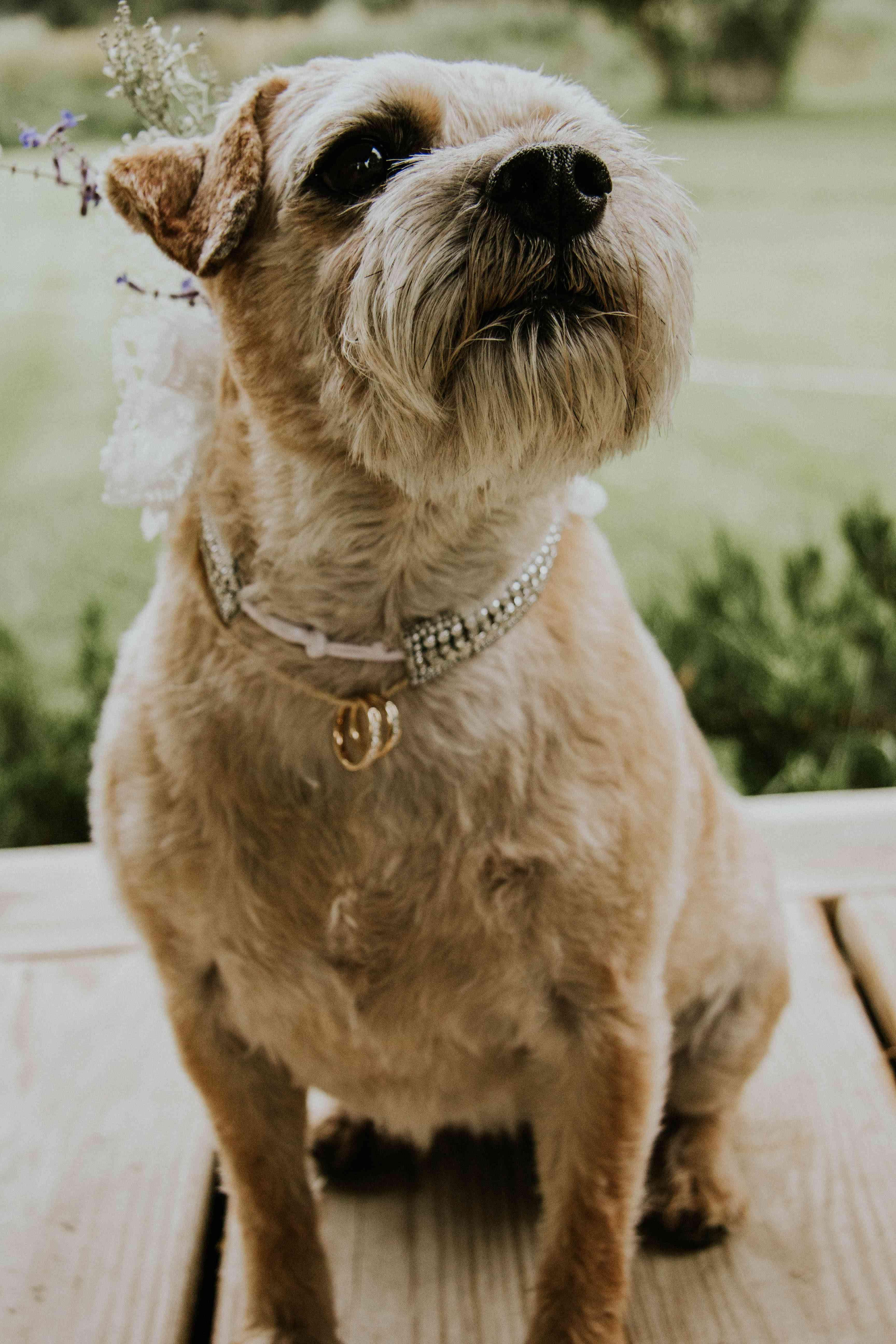 Dog holding wedding bands