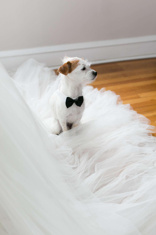 Dog sitting on dress hem in bowtie