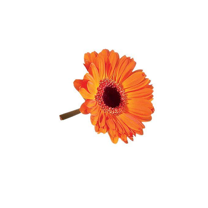 Orange mini gerbera daisy flower