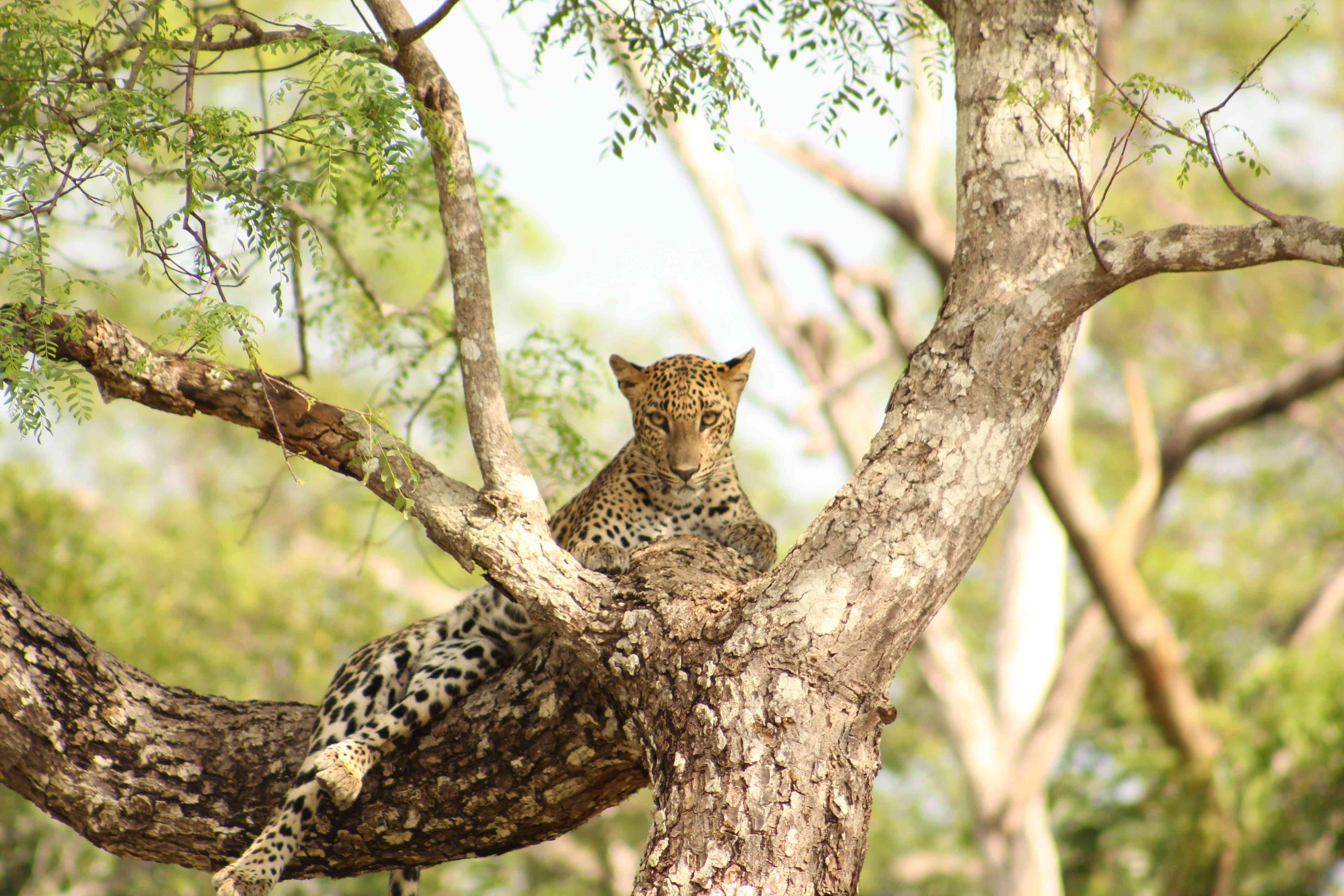 A Leopard in Sri Lanka's Yala National Park
