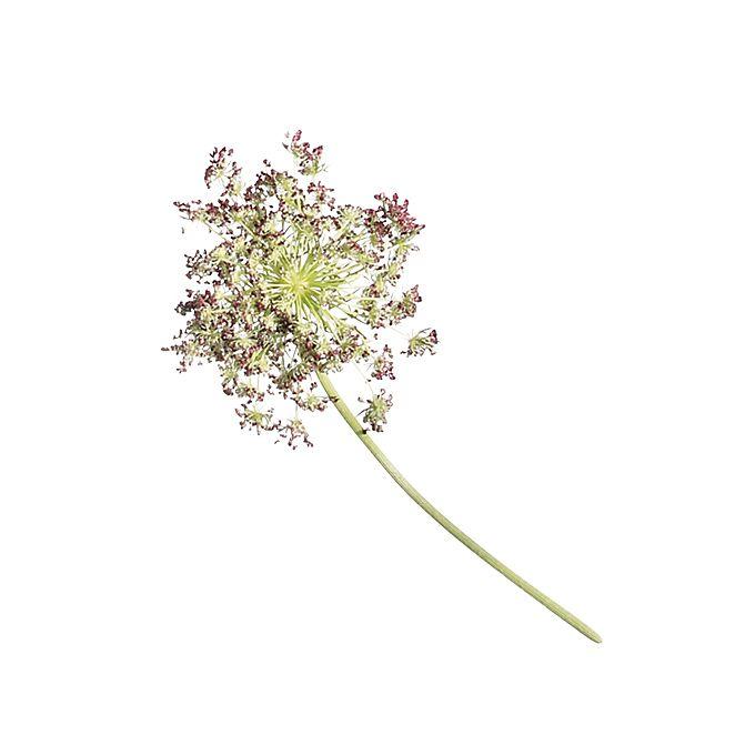 Black Queen Anne's Lace stem
