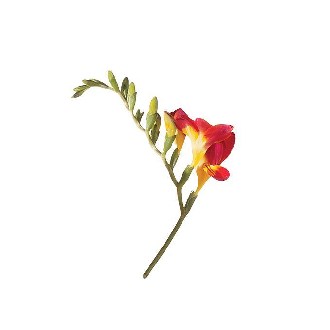 Orange freesia stem