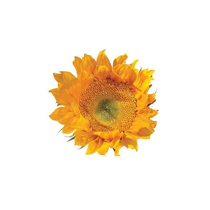 Close up of yellow sunflower head
