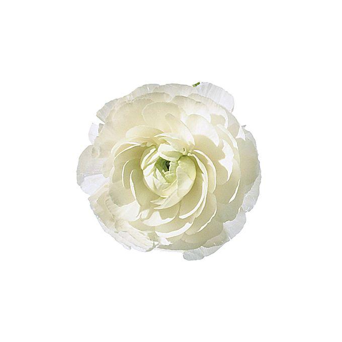White ranunculus flower