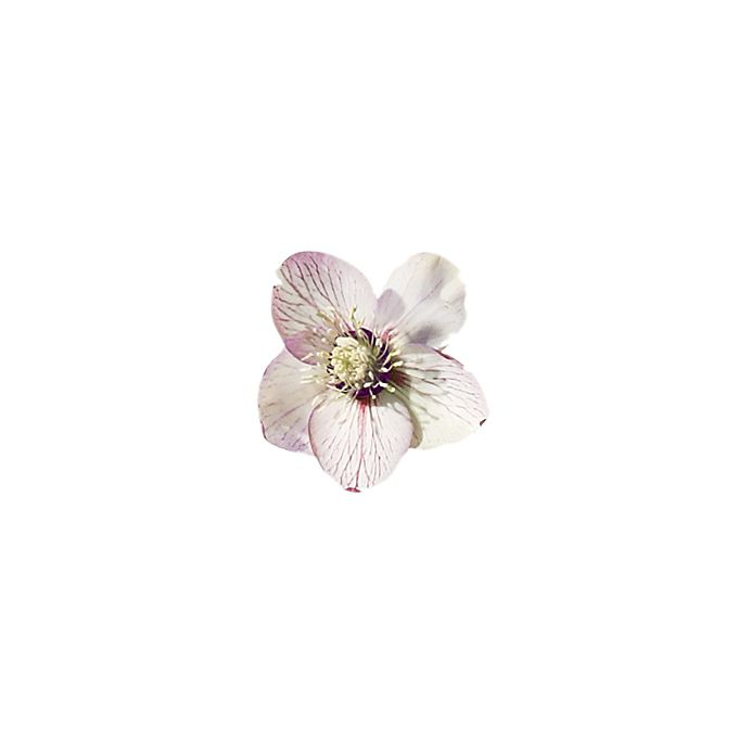 White Helleborus flower with purplish pink veins