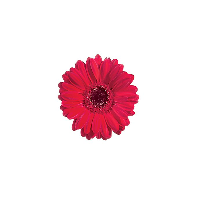 Red gerbera daisy bloom