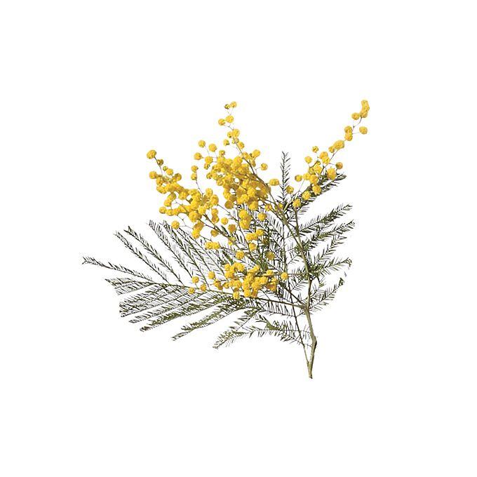 Yellow mimosa stems