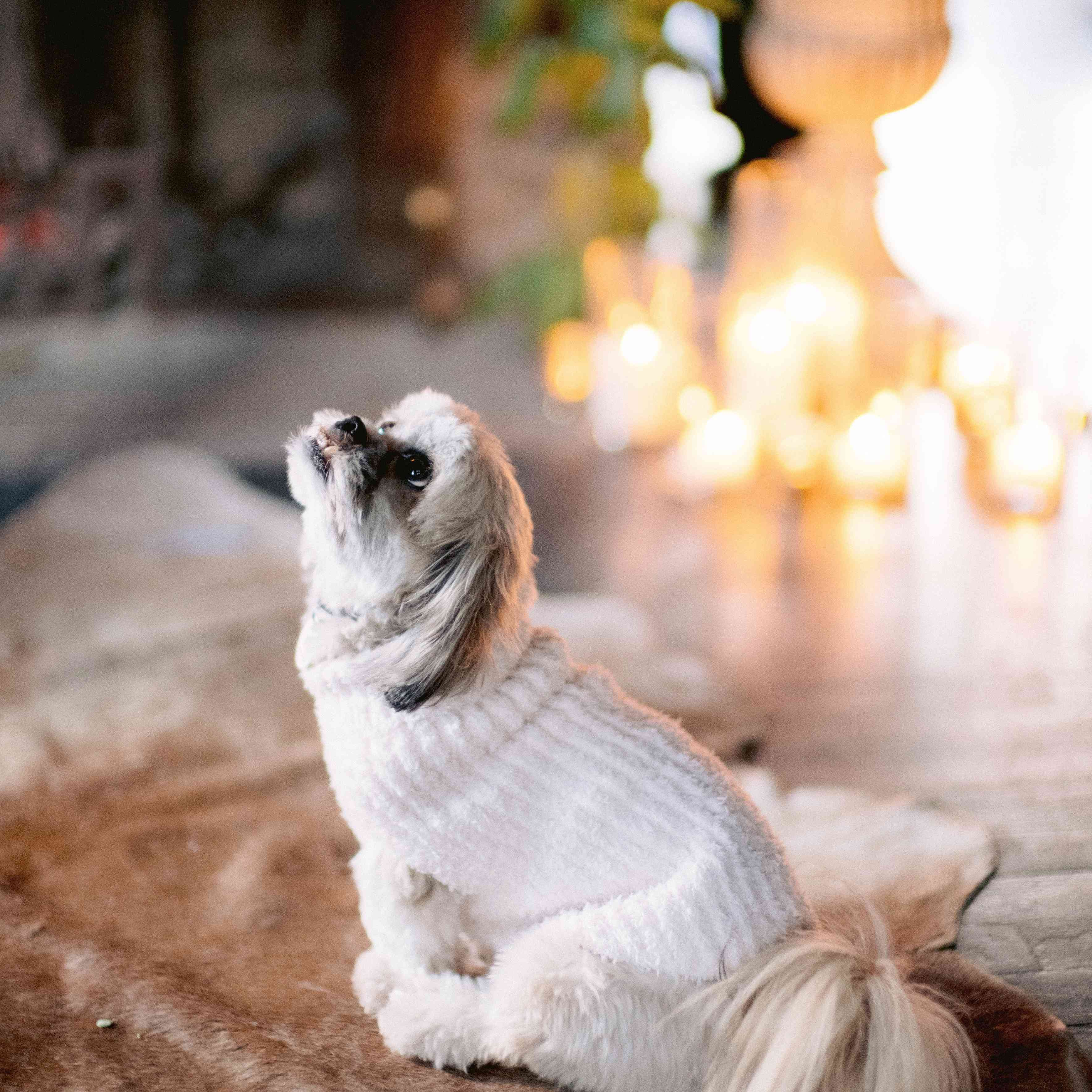 Dog dressed in white knit sweater
