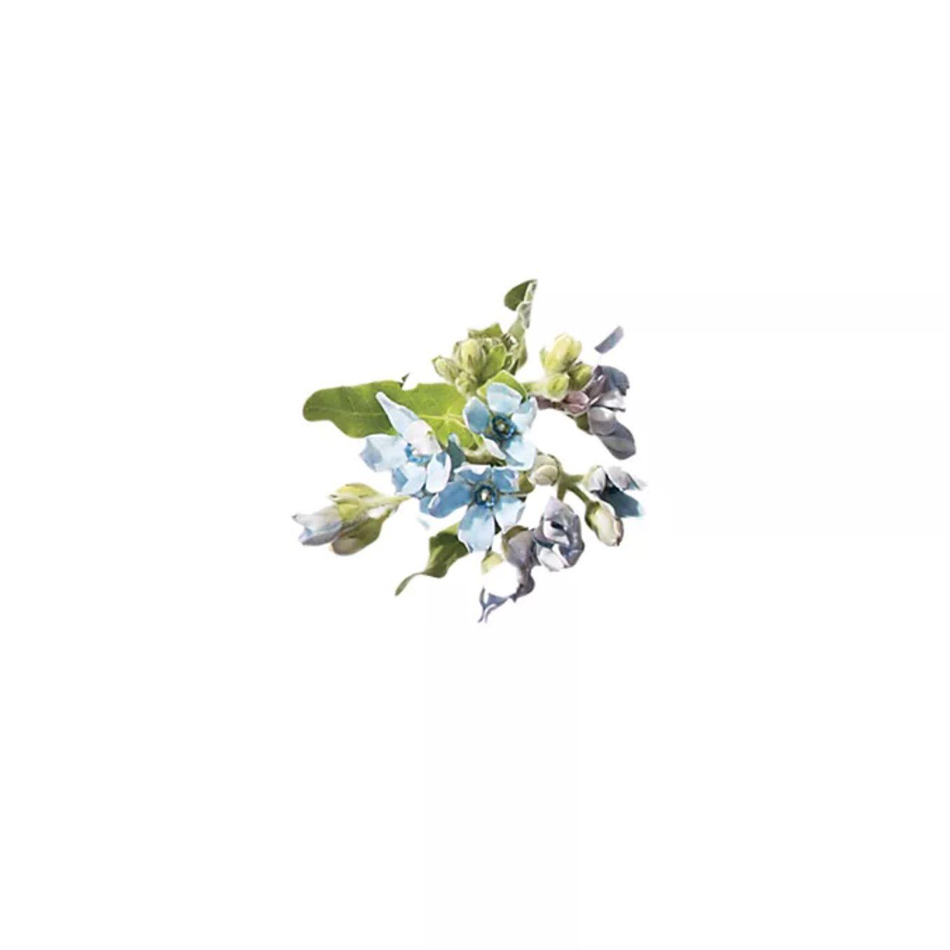 Sprig of tweedia flowers