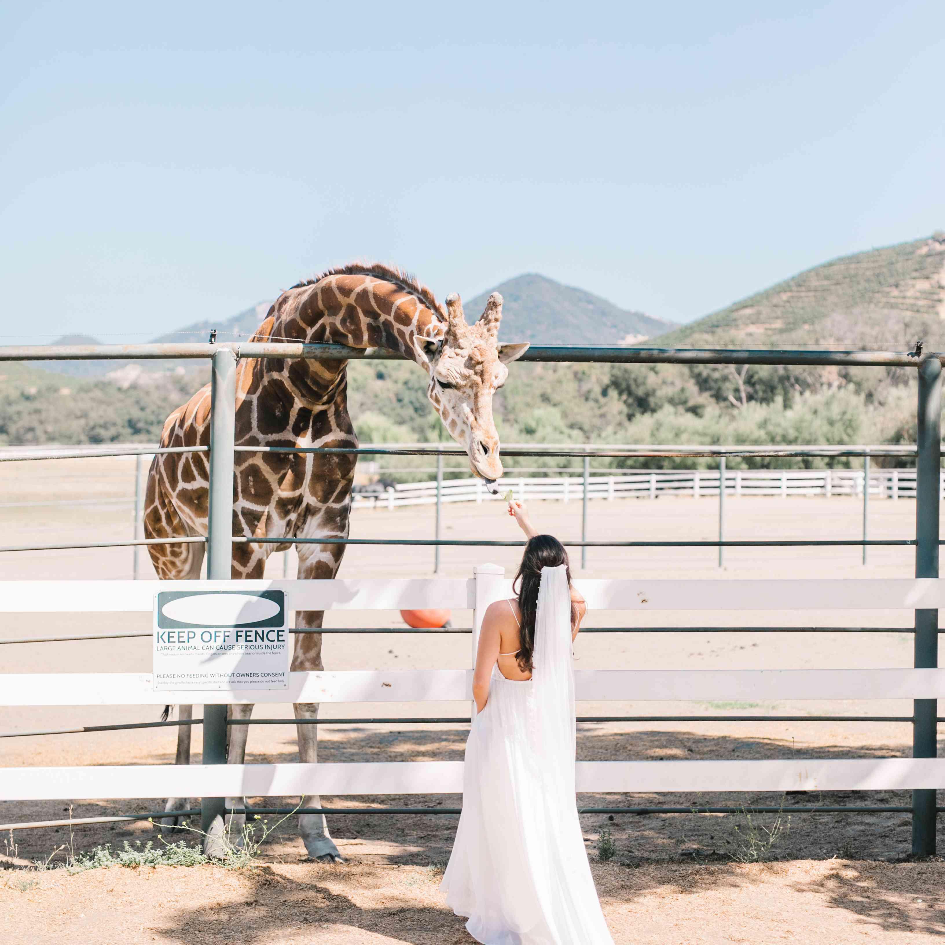 bride feeding giraffe in wedding dress