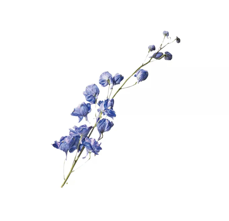 Indigo delphinium flower