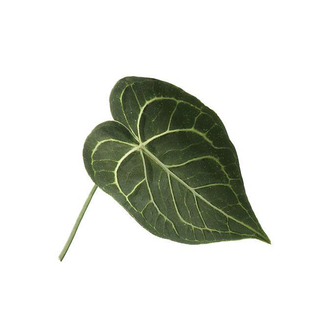 Green anthurium leaf