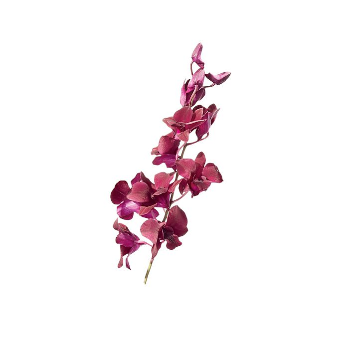 Reddish-Pink Dendrobium Orchid stem