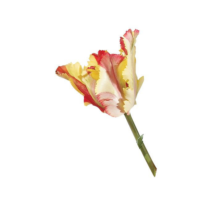 Cream, red, and yellow french parrot tulip