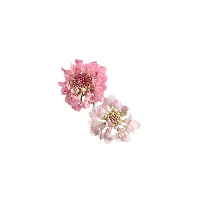 Pink scabiosa flowers