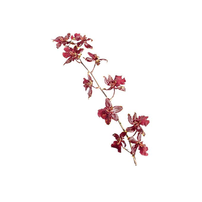 Red Sharry Baby Orchid stem