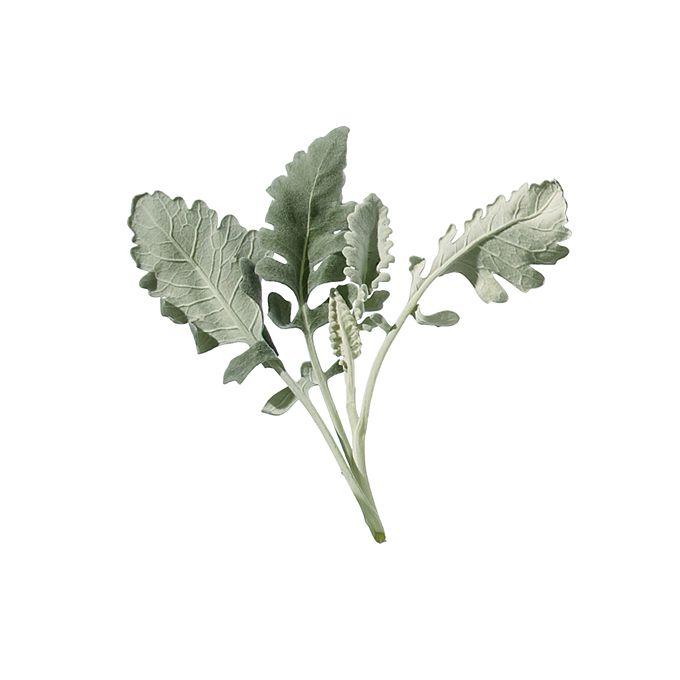 Dusty miller leaves