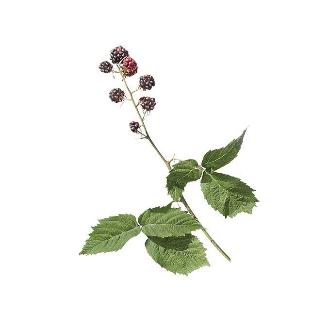 Blackberry stem