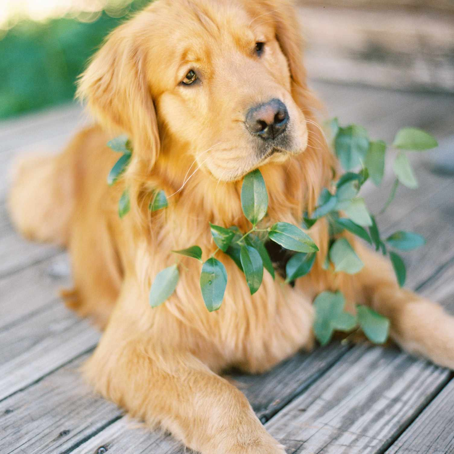 Dog with Greenery Wreath
