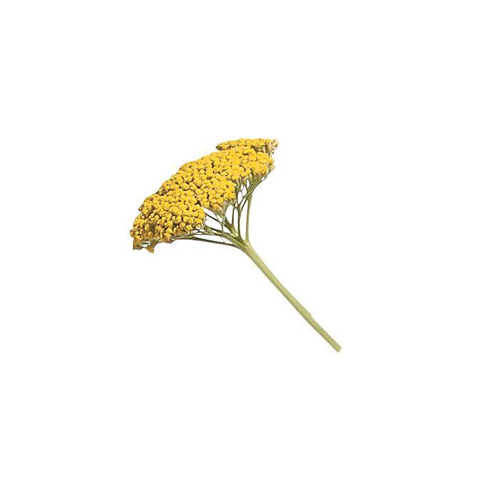 Yellow yarrow stem