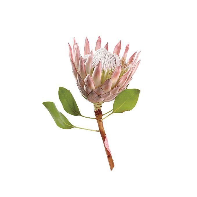 Pink queen protea bloom