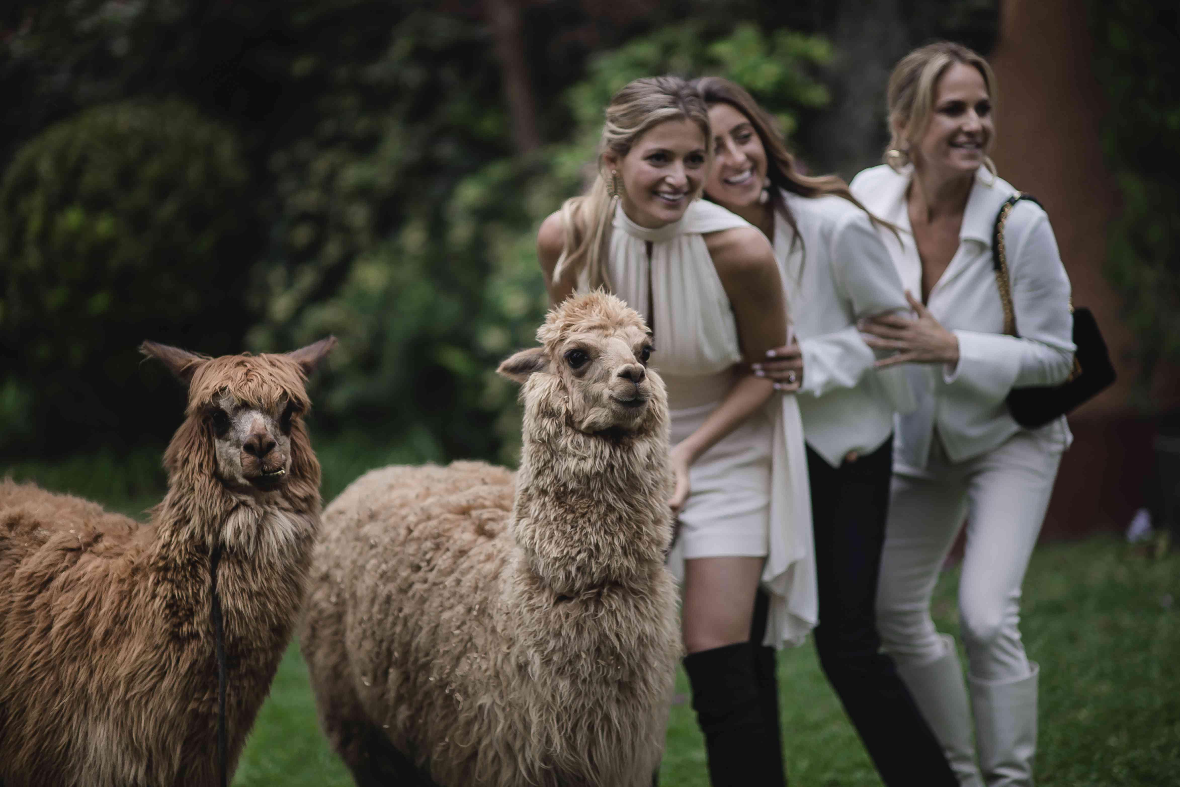 <p>Bride with llamas</p><br><br>