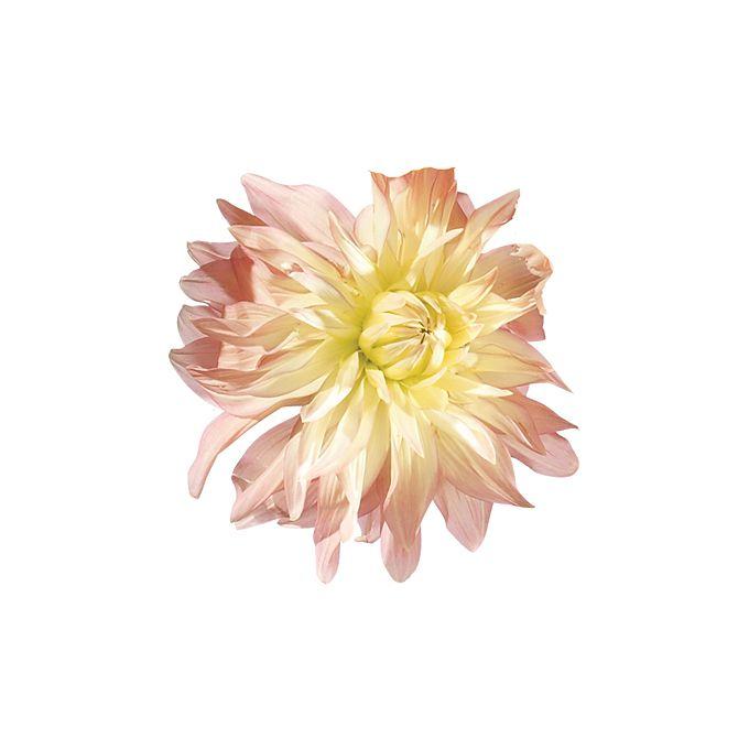 Close up of blush dahlia