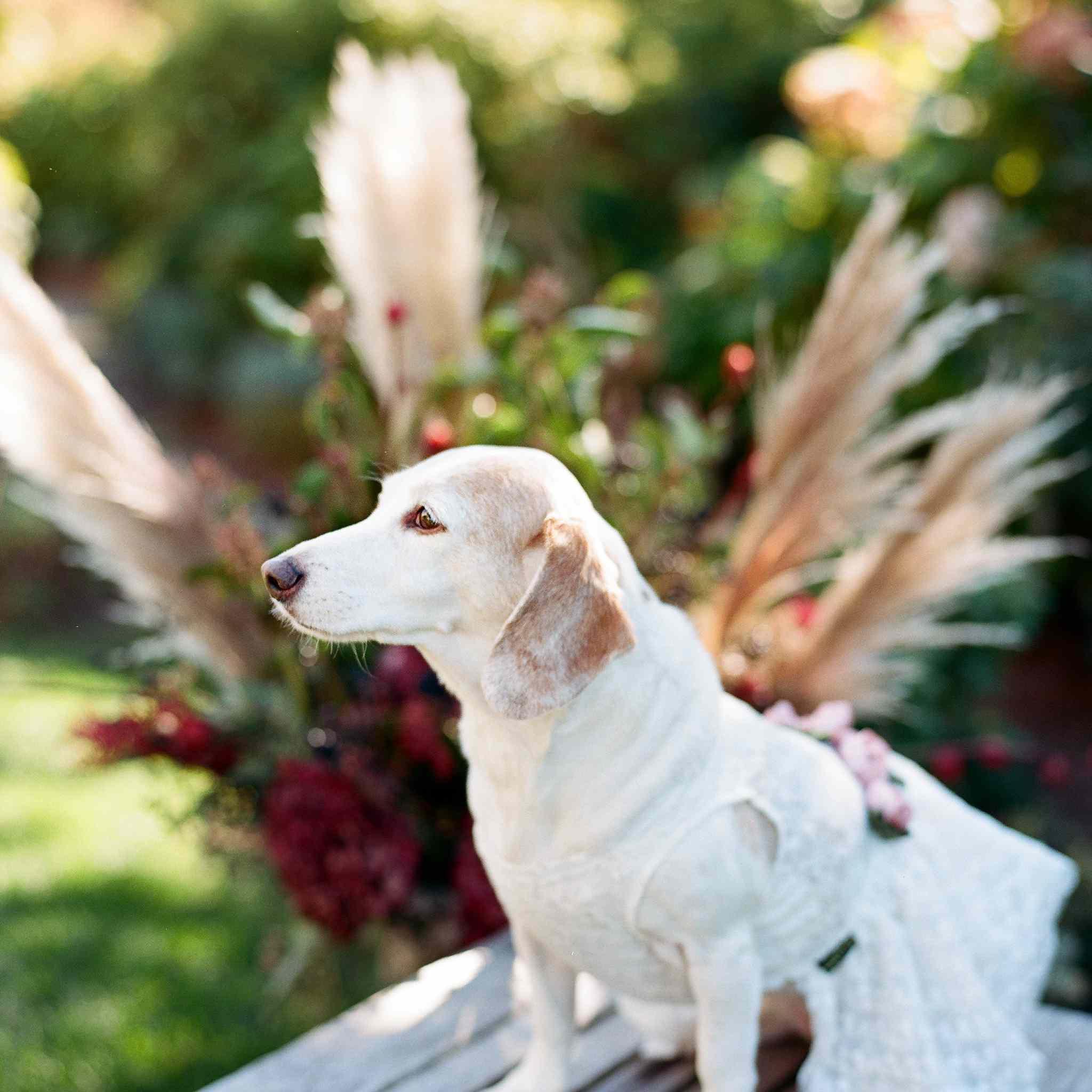 dog in wedding dress