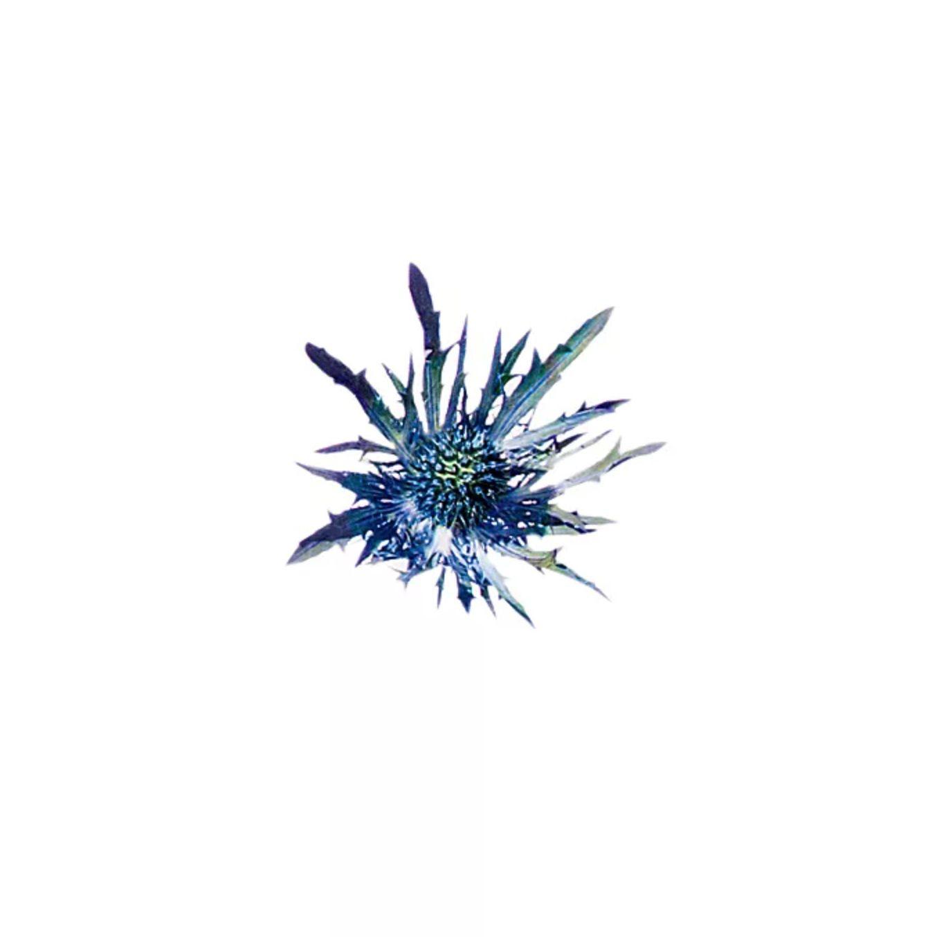 Blue thistle flower