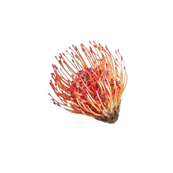 Close up of orange pincushion protea flower
