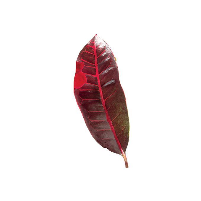 Red croton leaf