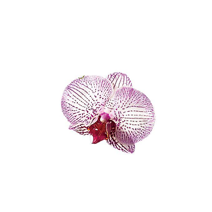 Purplish pink Phalaenopsis Orchid bloom