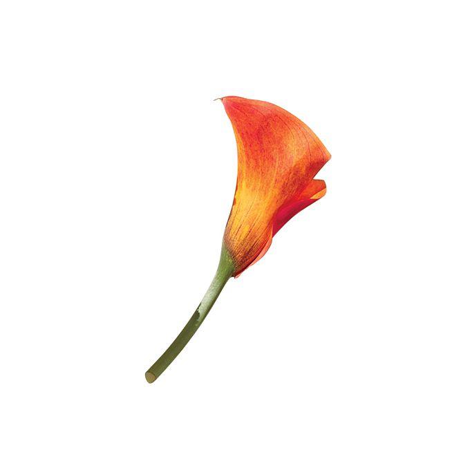 Orange mini calla lily bloom