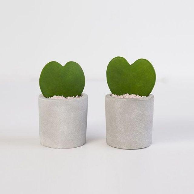 Pair of Hoya Heart Succulents