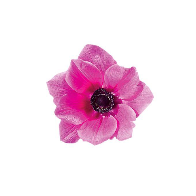 Pink anemone bloom