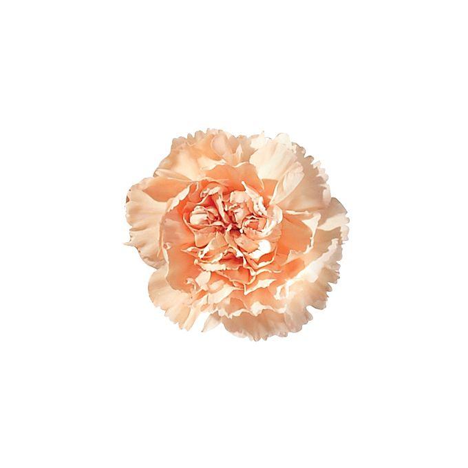 Blush orange carnation flower