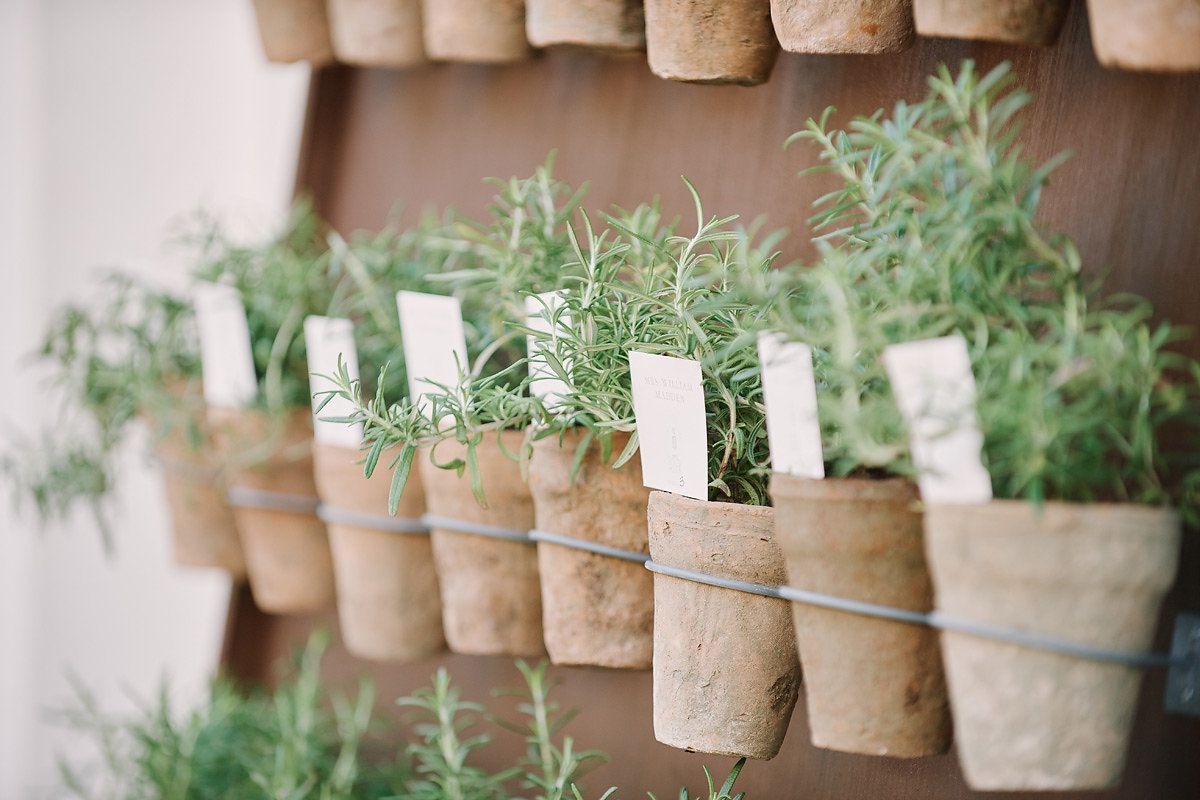 potted rosemary plants