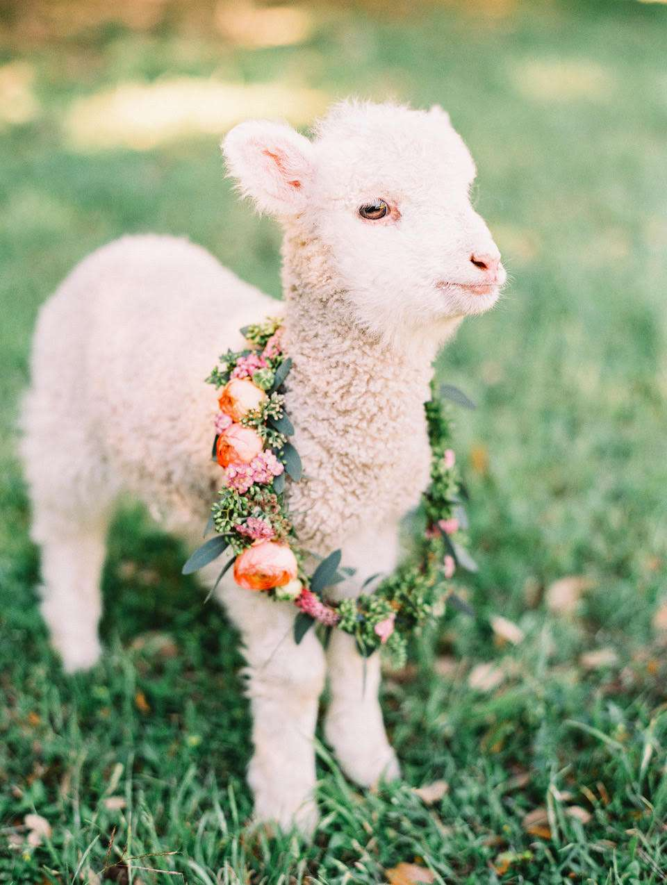 Lamb with a floral wreath around its neck