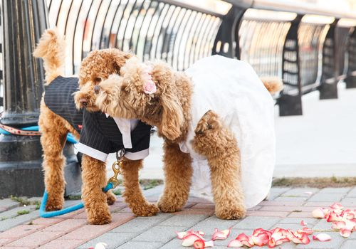 Two dogs dressed in wedding attire embrace
